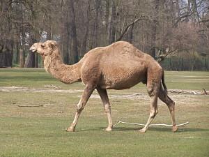 Camelus_dromedarius_at_Tierpark_Berlin
